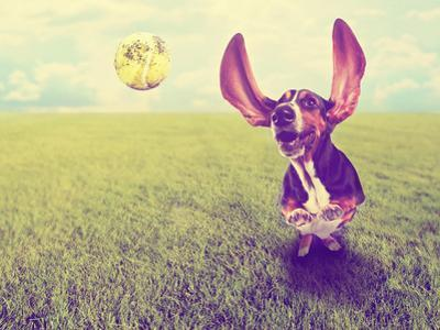 A Cute Basset Hound Chasing a Tennis Ball in a Park or Yard on the Grass Done with a Retro Vintage by graphicphoto