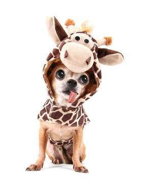 A Cute Chihuahua in a Costume by graphicphoto