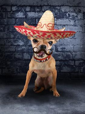 A Tiny Chihuahua With A Sombrero Hat On by graphicphoto