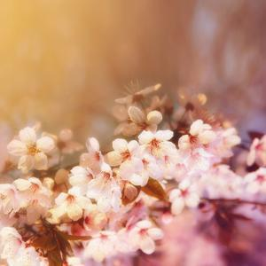 Cherry Tree Flowers Blooming in the Spring Toned with a Retro Vintage Instagram Filter by graphicphoto
