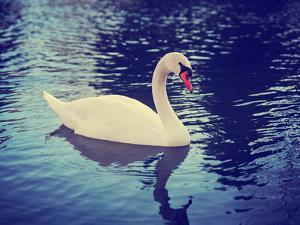 Mute Swan, Cygnus Olor, Single Bird on Dark Water Toned with a Retro Vintage Instagram Filter Effec by graphicphoto