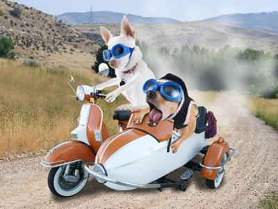 Two Chihuahuas In A Scooter by graphicphoto