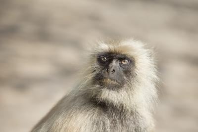 https://imgc.allpostersimages.com/img/posters/gray-langurs-hanuman-langurs-langur-monkey-semnopithecus-entellus_u-L-PWFS2O0.jpg?p=0