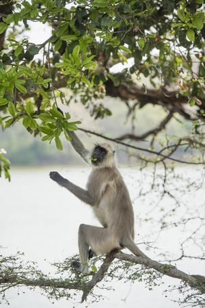 https://imgc.allpostersimages.com/img/posters/gray-langurs-hanuman-langurs-langur-monkey-semnopithecus-entellus_u-L-PWFSRS0.jpg?p=0