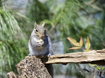https://imgc.allpostersimages.com/img/posters/gray-squirrel-mcleansville-north-carolina-usa_u-L-PZPYJQ0.jpg?p=0