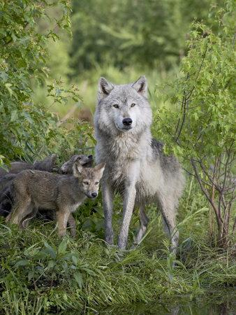 https://imgc.allpostersimages.com/img/posters/gray-wolf-adult-and-pups-in-captivity-sandstone-minnesota-usa_u-L-P7NKV40.jpg?p=0