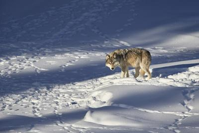https://imgc.allpostersimages.com/img/posters/gray-wolf-canis-lupus-870f-of-the-junction-butte-pack-in-the-winter_u-L-PWFB5A0.jpg?p=0