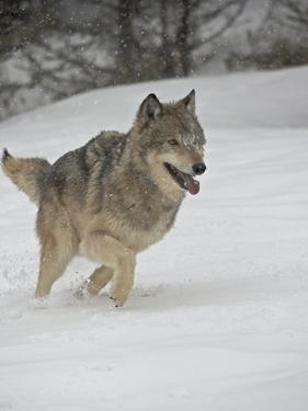 Gray Wolf (Canis Lupus) Running in the Snow in Captivity, Near Bozeman, Montana