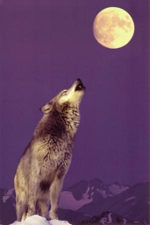 Gray Wolf Howling at Moon