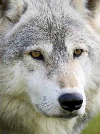 https://imgc.allpostersimages.com/img/posters/gray-wolf-in-captivity-sandstone-minnesota-united-states-of-america-north-america_u-L-P7NKZK0.jpg?p=0