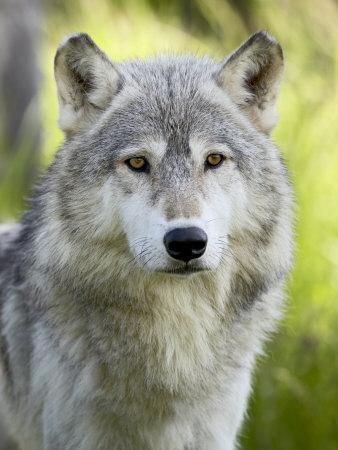 https://imgc.allpostersimages.com/img/posters/gray-wolf-in-captivity-sandstone-minnesota-usa_u-L-P7NLDS0.jpg?p=0