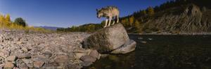 Gray Wolf, North Fork Flathead River, Glacier National Park, Montana, USA