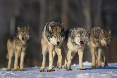 https://imgc.allpostersimages.com/img/posters/gray-wolf-pack-in-snow_u-L-PZR4RW0.jpg?p=0
