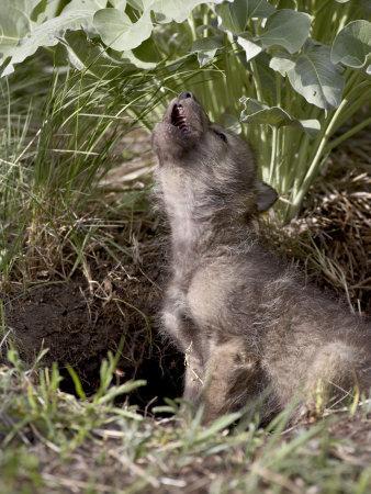 https://imgc.allpostersimages.com/img/posters/gray-wolf-pup-howling-in-captivity-animals-of-montana-bozeman-montana-usa_u-L-P7NL1C0.jpg?p=0