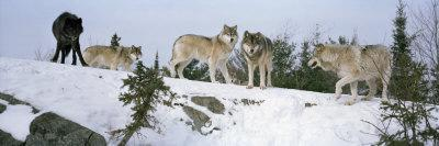 https://imgc.allpostersimages.com/img/posters/gray-wolves-in-a-forest-massey-ontario-canada_u-L-P6IYZA0.jpg?p=0