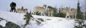 Gray Wolves in a Forest, Massey, Ontario, Canada