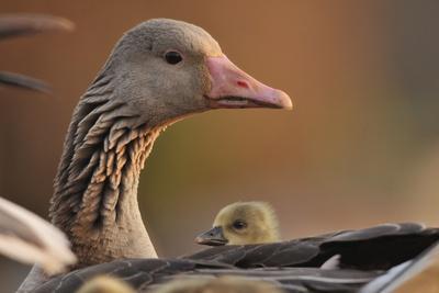 https://imgc.allpostersimages.com/img/posters/graylag-gosling-anser-anser-resting-under-parent-s-wing-pusztaszer-hungary_u-L-Q13ABFY0.jpg?p=0