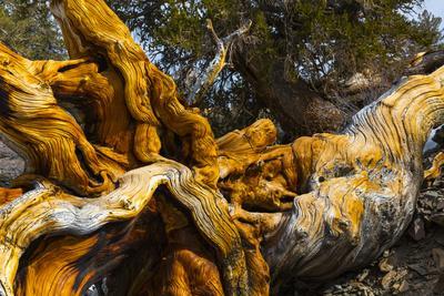 https://imgc.allpostersimages.com/img/posters/great-basin-bristlecone-pine-pinus-longaeva-fallen-ancient-tree-white-mountains-california_u-L-Q13ABI40.jpg?p=0