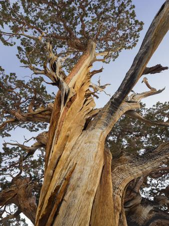 https://imgc.allpostersimages.com/img/posters/great-basin-bristlecone-pine-pinus-longaeva-sierra-nevada-california-usa_u-L-Q11YQXT0.jpg?p=0