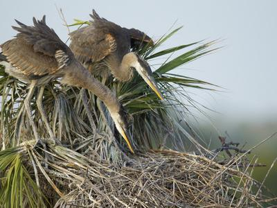 https://imgc.allpostersimages.com/img/posters/great-blue-heron-chicks-in-nest-looking-for-bugs-ardea-herodias-viera-wetlands-florida-usa_u-L-PHASS60.jpg?p=0