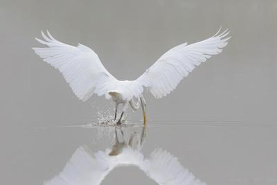 https://imgc.allpostersimages.com/img/posters/great-egret-ardea-alba-fishing-in-wetland-in-fog-illinois_u-L-Q1D0XI20.jpg?p=0
