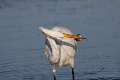 https://imgc.allpostersimages.com/img/posters/great-egret-ardea-alba_u-L-Q10VQ0T0.jpg?p=0