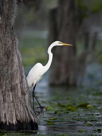 https://imgc.allpostersimages.com/img/posters/great-egret-caddo-lake-texas-usa_u-L-PHAD4Q0.jpg?p=0