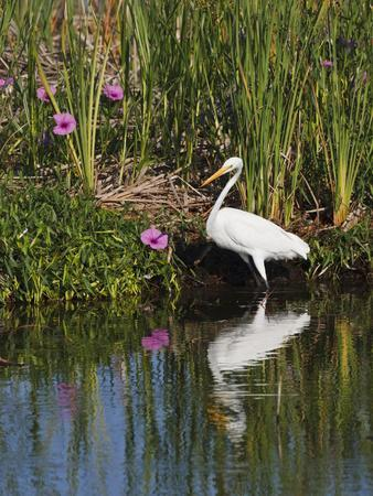https://imgc.allpostersimages.com/img/posters/great-egret-caddo-lake-texas-usa_u-L-PHAF1X0.jpg?artPerspective=n