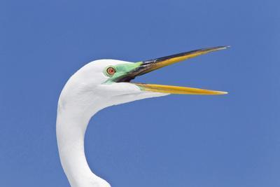 https://imgc.allpostersimages.com/img/posters/great-egret-casmerodius-albus-adult-breeding-plumage-close-up-of-head-with-beak-open_u-L-Q10YGTG0.jpg?p=0