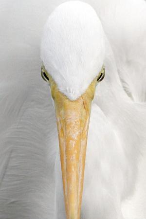 https://imgc.allpostersimages.com/img/posters/great-egret-casmerodius-albus-adult-close-up-of-head-florida-usa_u-L-Q10YEMH0.jpg?p=0