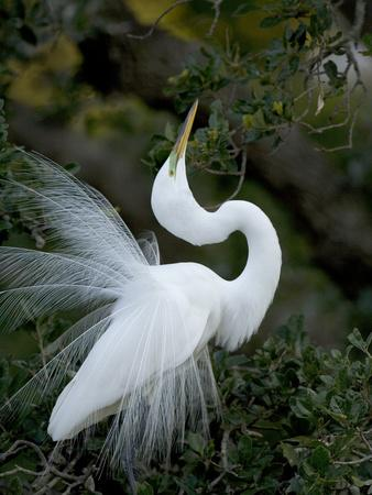 https://imgc.allpostersimages.com/img/posters/great-egret-exhibiting-sky-pointing-on-nest-st-augustine-florida-usa_u-L-P25QYA0.jpg?p=0