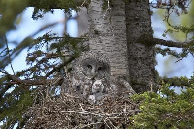 https://imgc.allpostersimages.com/img/posters/great-gray-owl-great-grey-owl-strix-nebulosa-female-and-11-day-old-chicks_u-L-PQ8OVB0.jpg?p=0