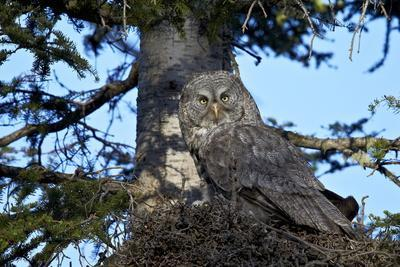 https://imgc.allpostersimages.com/img/posters/great-gray-owl-great-grey-owl-strix-nebulosa-female-and-13-day-old-chick_u-L-PQ8RLB0.jpg?p=0