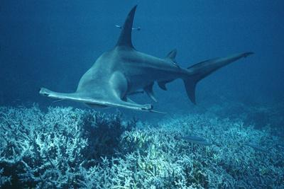 https://imgc.allpostersimages.com/img/posters/great-hammerhead-shark-swimming_u-L-Q106IWN0.jpg?p=0