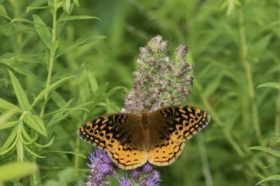 https://imgc.allpostersimages.com/img/posters/great-spangled-fritillary-on-prairie-blazing-star-stephen-a-forbes-state-park-illinois_u-L-Q1D0OGQ0.jpg?p=0