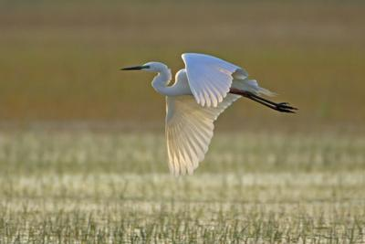 https://imgc.allpostersimages.com/img/posters/great-white-egret-in-flight-over-water-meadow_u-L-Q105Y740.jpg?p=0