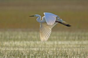 Great White Egret in Flight over Water Meadow