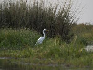 Great White Heron (Ardea Alba), Okavango Delta, Ngamiland, Botswana