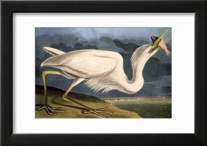 Great White Heron from Birds of America