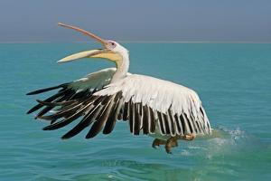 Great White Pelican in Flight Taking Off