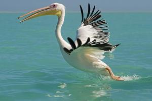 Great White Pelican Taking Off
