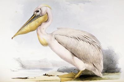 https://imgc.allpostersimages.com/img/posters/great-white-pelican_u-L-Q1HKYFL0.jpg?artPerspective=n