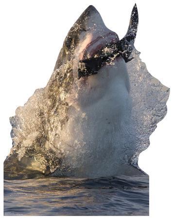 Great White Shark Standup