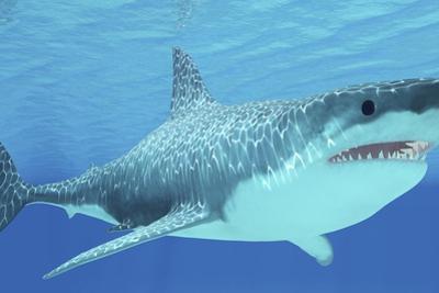 Great White Shark Swimming Underwater