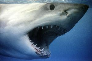 Great White Shark with Mouth Wide Open