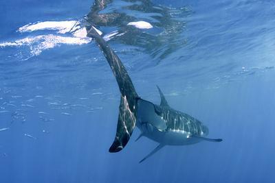 https://imgc.allpostersimages.com/img/posters/great-white-shark_u-L-Q106ELN0.jpg?p=0