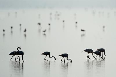 https://imgc.allpostersimages.com/img/posters/greater-flamingos-phoenicopterus-roseus-in-a-lake-ndutu-ngorongoro-conservation-area-tanzania_u-L-PWEBEP0.jpg?p=0