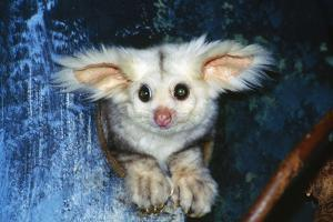Greater Glider Looking Out of Hollow