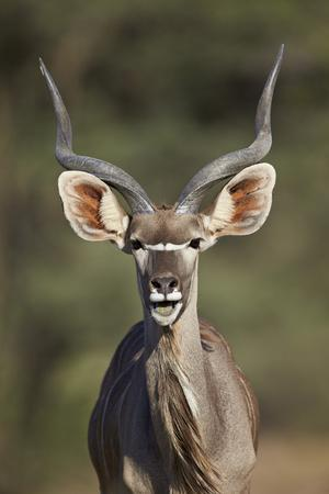 https://imgc.allpostersimages.com/img/posters/greater-kudu-tragelaphus-strepsiceros-buck-with-his-mouth-open_u-L-PWFB5M0.jpg?p=0