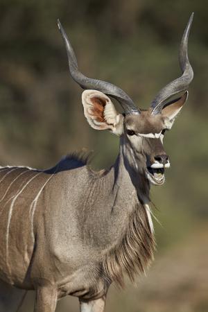 https://imgc.allpostersimages.com/img/posters/greater-kudu-tragelaphus-strepsiceros-buck-with-his-mouth-open_u-L-PWFDDI0.jpg?artPerspective=n